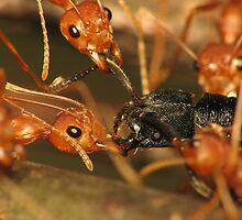 Predatory Ants by Nugroho Budianggoro