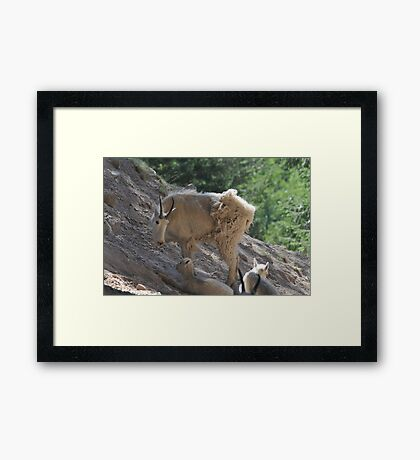 Goat with babies Framed Print