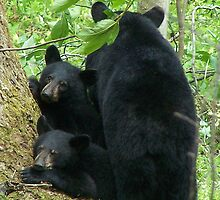Three Bears by sue127