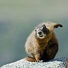 Kung Fu Marmot by Jay Ryser
