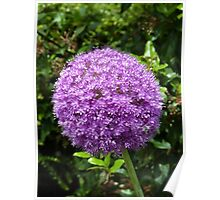 Allium giganteum - One single flower may be a world Poster
