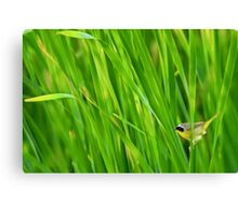 Common yellowthroat on cattails Canvas Print