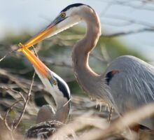Great Blue Herons Sticker