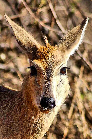 THE COMMON DUIKER - Sylvicapra grimmia by Magaret Meintjes