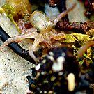 Octopus by sparrowdk