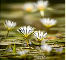 Nymphaea caerulea, known primarily as blue lotus (or blue Egyptian lotus) Photographic Print