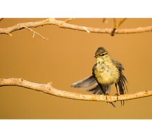 Juvenile male Willow Warbler (Phylloscopus trochilus).  Photographic Print