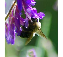 Bumble Bloom Photographic Print