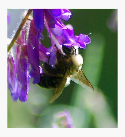 Bumble Bloom Photographic Print