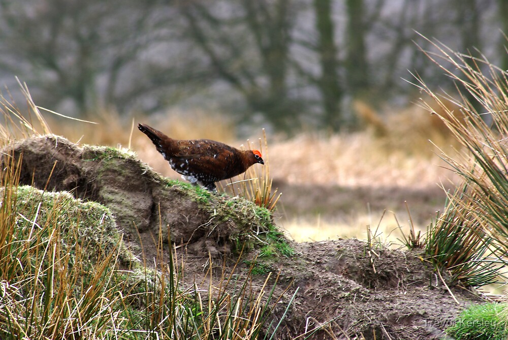 Red_Grouse_2 by Trevor Kersley