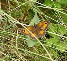 Gatekeeper butterfly(pyronia tithonus) by brucemlong