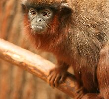 Red Titi Monkey - Twycross Zoo by amjaywed