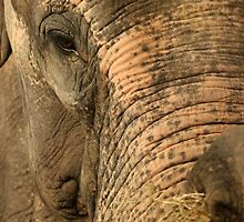 Asian Elephant by amjaywed