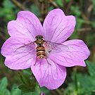 Hoverfly on Geranium by Bob Sagar