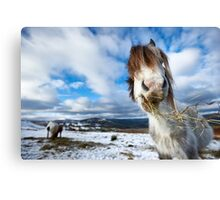 Hay there! Canvas Print