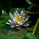 Pond Lilly by David DeWitt