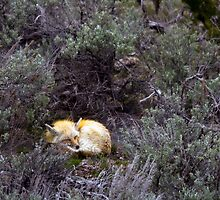 Sleeping Fox by LarryGambon