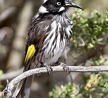 New Holland Honeyeater by Robert Elliott