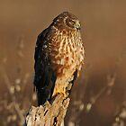Northern Harrier by photosbyjoe