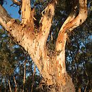 Eucalypt by Blue Gum Pictures