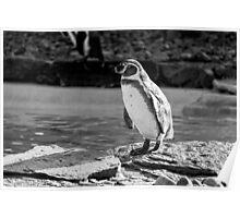 Penguin in Black & White Poster
