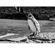 Penguin in Black & White Photographic Print