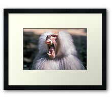 Close-up portrait of an Olive Growling Dominant male Hamadryas baboon Close-up portrait of an Olive baboon (Papio anubis) Framed Print