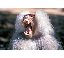 Close-up portrait of an Olive Growling Dominant male Hamadryas baboon Close-up portrait of an Olive baboon (Papio anubis) Photographic Print