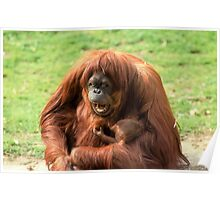 Sumatran orangutan mother with infant In a zoo Poster