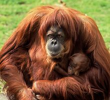 Sumatran orangutan mother with infant In a zoo by PhotoStock-Isra