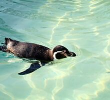 Swimming Penguin by jboffinphoto