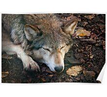 Sleeping Wolf Poster