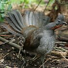 superb lyrebird by Donovan wilson