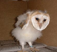 Barn owl 4 weeks old by Jenny52