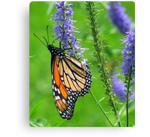To everything there is a season....Monarch Canvas Print