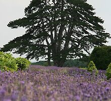 Lavender field by Justine Humphries