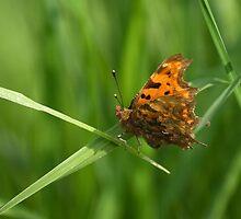 Comma Butterfly by kernuak