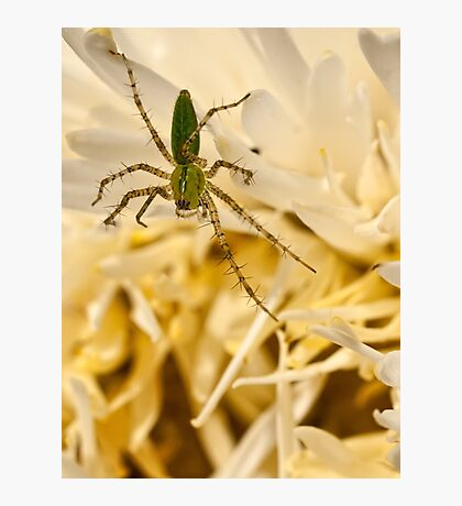 Green lynx spider Photographic Print