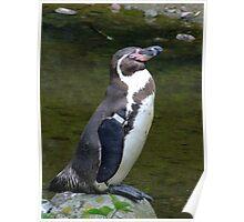 Penguin sunning himself. Poster