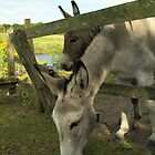 Donkeys by MariaVikerkaar