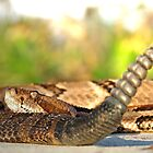 Canebrake Rattlesnake by Michael L Dye