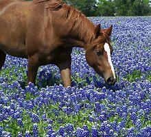 Texas Bluebonnets by larogers