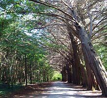 Coole Park forest by John Quinn
