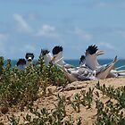 Crested Terns Penguin Island (3) by kalaryder