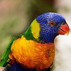 Swainson's Rainbow Lorikeet by Sandra Chung