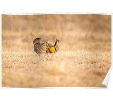 Prairie Chicken 2013-13 Poster