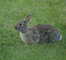 Wild Urban Rabbit by Stephen Thomas