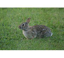 Wild Urban Rabbit Photographic Print