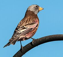 Gray-crowned Rosy-Finch by Eivor Kuchta