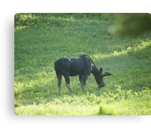Grazing Moose Canvas Print